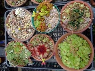 センペルビウムの寄せ植え~♪セダム、オロスタキスも入れて色とりどりにモリモリです♪梅雨の晴れ間のセンペル達~♪2013.06.05