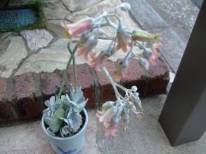 コチレドン 銀波錦(ぎんぱにしき)(Cotyledon undulata?orbiculata)長い花茎30cm伸ばして開花中♪2013.08.08