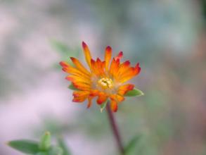 多肉寄せ植えの中の葉物メセン(トリコディアデマ)~小さいオレンジ花が一輪だけ咲いています♪2013.10.01