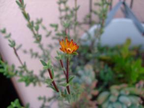 多肉寄せ植えの中の葉物メセン(トリコディアデマ)小さいオレンジ花が一輪だけ咲いています♪2013.10.01