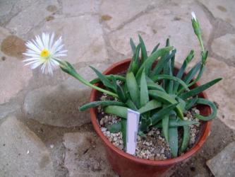ベルゲランタス 白花(Bergeranthus vespertinus fa albiflora Uitenhage)少し大型~大群波(だいぐんぱ)?なんと夕方5時過ぎに開花~3時には咲きません。2013.06.14
