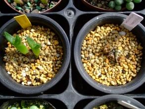 右:ディプロソマ ルックホフィ(怪奇玉)(Diplosoma luckhoffii) 左:ディプロソマ レトロベルサム(玉藻)(Diplosoma retroversum)キレイになりました♪2013.10.28