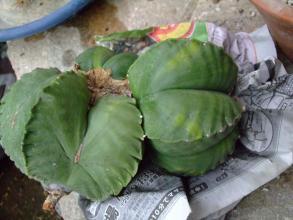 碧瑠璃鸞鳳玉(ヘキルリランポー玉)(Astrophytum myriostigma var. nudum) 接ぎ木になっているようです。少し斑入り?2013.08.06