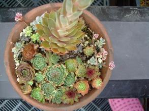 センペルビウムの寄せ植えに高い塔を立ててピンクな可愛い花が咲きました♪2013.07.27