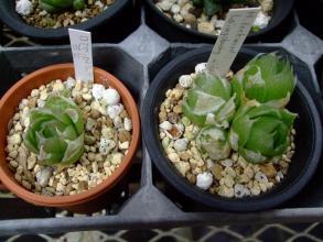 ハオルチア ロックウッディ(Haworthia Lockwoodii. Laingsberg, wide leaf) 胴切りから1年4ヶ月なんとか生きています♪2013.08.02