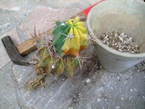 フェロカクタス(Ferocactus)でしょうか?斑入り不明種~2013.08.06