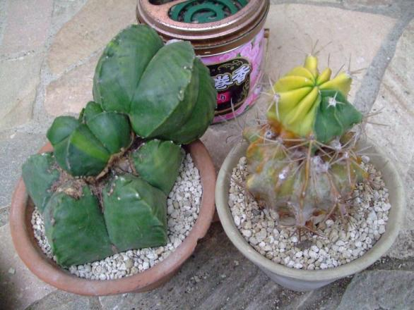 左:碧瑠璃鸞鳳玉(ヘキルリランポー玉)、右:フェロカクタス?不明種~接ぎ木部分から発根してしっかり乾いているので植えつけました♪2013.08.06