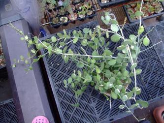 クセロシキオス属  緑の太鼓(みどりのたいこ) (Cucurbitaceae Xerosicyos danganyii) 2013.07.09
