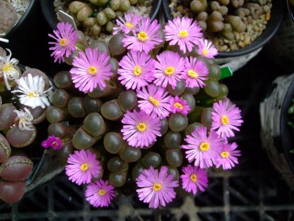 オフタルモフィルム パラエセクタム(聖鈴玉)(Ophthalmophyllum praesectum)?かしら名無しさん咲きました♪2013.10.17