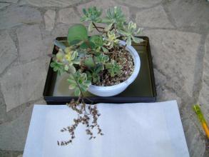 アエオニウム 愛染錦(Aeonium domesticum f.variegata)~開花ロゼッツは枯れてしまいましたが分岐枝は元気です♪2013.07.18