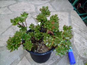 アエオニウム 小人の祭り(Aeonium sedifolius)~開花は一枝だけでした・・・ちょっとだけ花柄~枯れてはいません♪2013.07.18