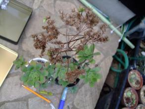 アエオニウム 夕映え(Aeonium decorum) ~花が咲いたロゼット部分だけ枯れましたがその他の分岐枝は残っています♪2013.07.18