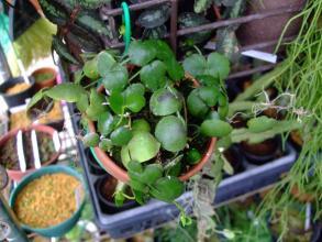 ディスキディア インブリカタ(Dischidia imbricata)不思議な貼りつく葉すこし蔓が伸びました♪2013.09.24