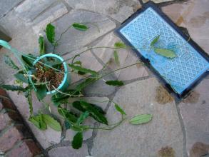 ホヤ グロブローサ(hoya globulosa=villosa)原産地:ヒマラヤ 花が咲きにくい品種の様です( 一一)葉脈が美しい2013.09.21