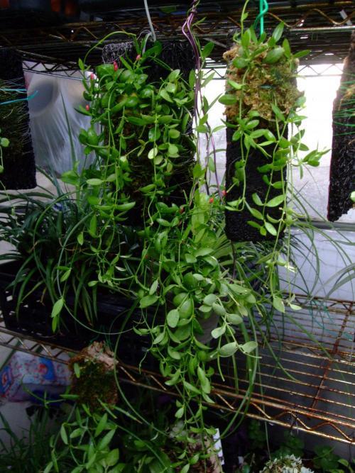 ディスキディア ペクテノイデス(Dischidia pectenoides) =カンガルーポケット、フクロカズラ今年たくさん茂りました♪2013.10.13