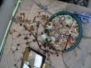 グリーノビア オーレア玉姫椿(たまひめつばき)(Greenovia aurea) 花が咲いた株は枯れてしまいました。2013.07.18