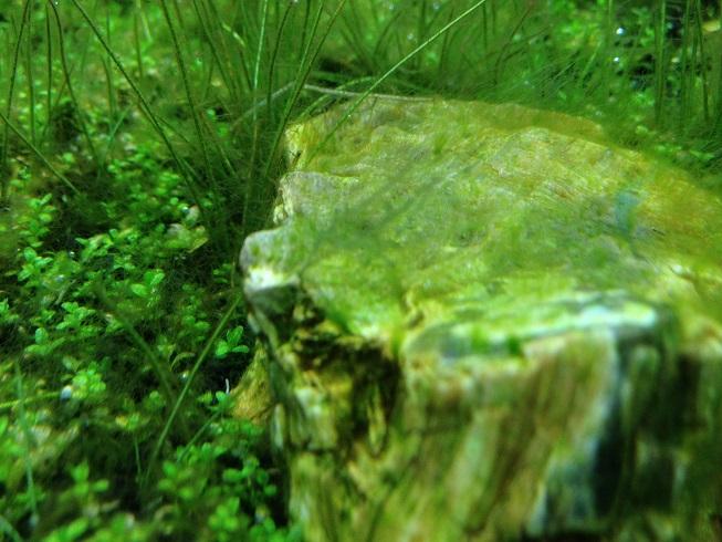 いそぎんちゃく状の苔