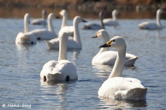 川島白鳥 184