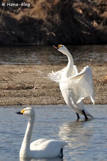 川島白鳥 352