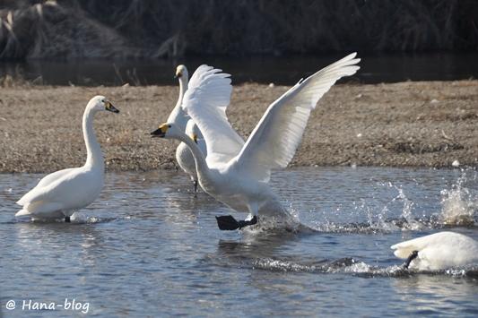 川島白鳥 370