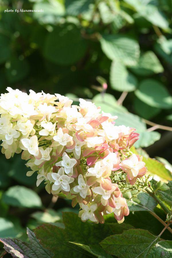 明月院の紫陽花1
