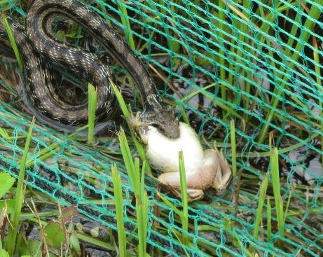 ハス池の傍で偶然に、お!どうやって食べるのでしょうね?尻尾を震わせこちら盛んに威嚇しています