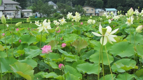 中綱湖畔に咲くハスの花、満開です