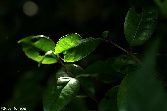 穴開きの葉・透過光