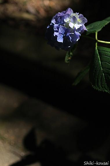紫陽花と影