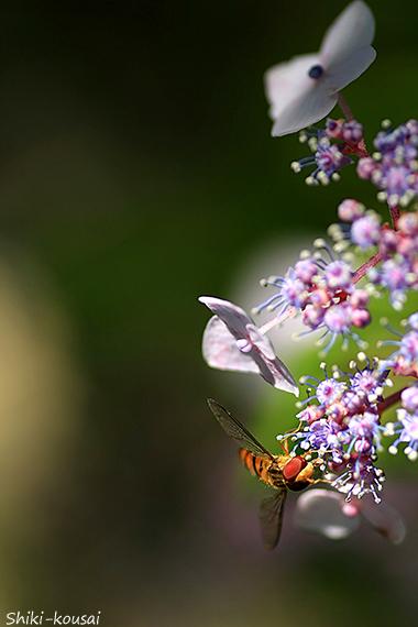 ハナアブ・紫陽花
