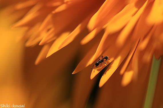 蟻・八重咲きヒマワリ