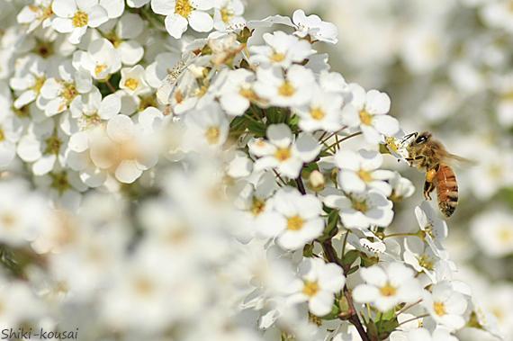 ミツバチ・ユキヤナギ