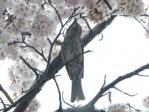13/04/21 ヒヨドリ