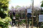 13/05/18 子平町の樹齢400年の藤の花3