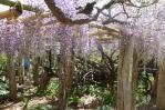 13/05/18 子平町の樹齢400年の藤の花7
