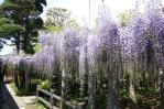 13/05/18 子平町の樹齢400年の藤の花8