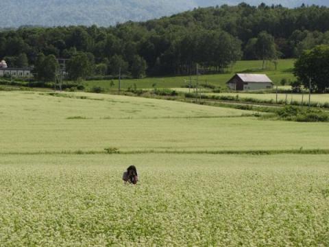 幌加内の蕎麦畑