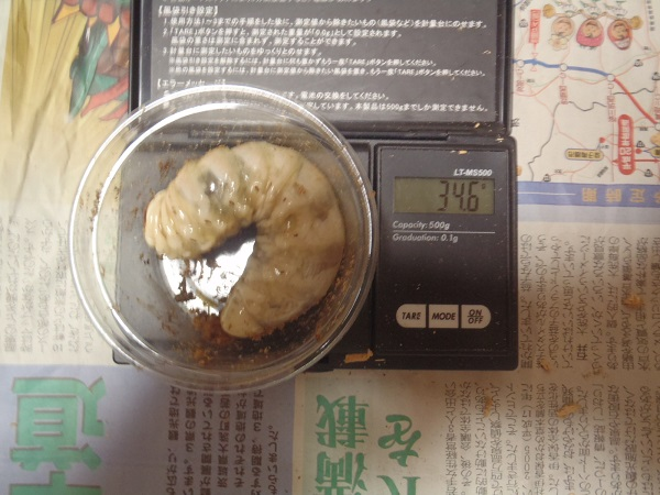 本家828×533幼虫34.6g画像2NO24
