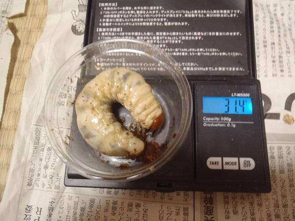 久留米2番810×512幼虫31.4g画像NO04