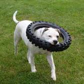 不要タイヤで遊ぶ犬