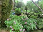 ⑧太宰府天満宮の紫陽花21
