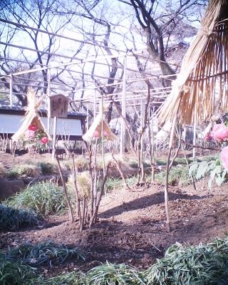 ちょっとずれた冬牡丹と五重塔・上野東照宮:R2