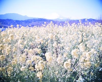 菜の花と富士山2014:R2