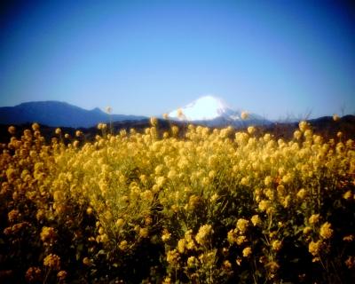 菜の花と富士山2014:Entry