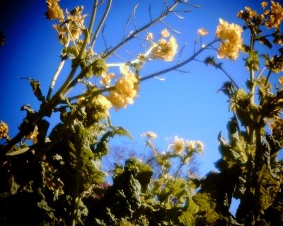 青空に菜の花:Entry