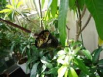 ピーチマンゴー取木中b