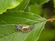 テントウムシ幼虫20130525.jpg