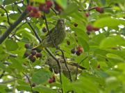 カワラヒワ幼鳥20130525.jpg