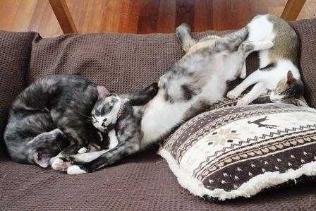 タビ、ミケ、あんこ昼寝
