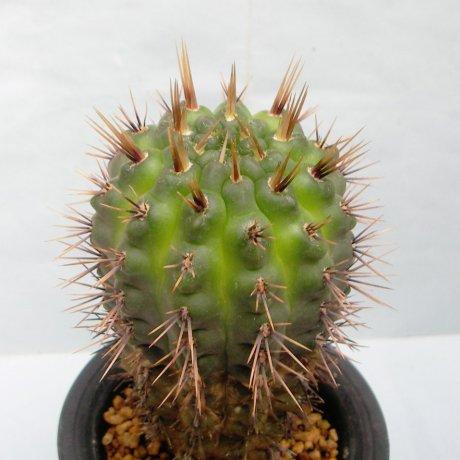 Sany0126--gibbosum v fennelii--P 95--Succseed seed